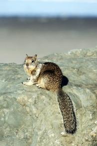 Rockaway Beach Squirrel
