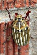 Meet the Beetle