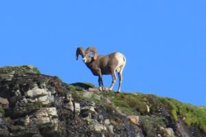 July 22, 2012 - Bighorn Sheep