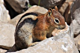 Mountain Top Chipmunk