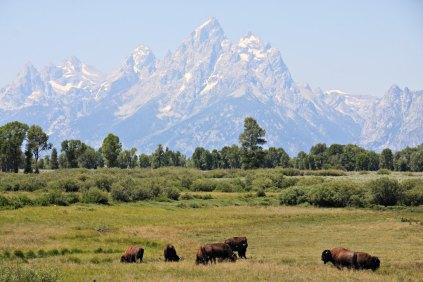 Grand Teton Bison