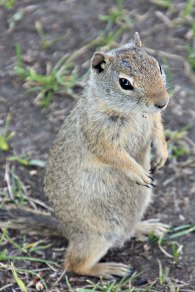 Grand Teton Squirrel