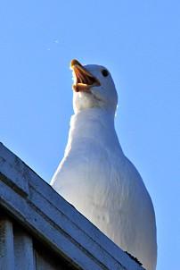Les Schwab Gull