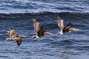 September 2, 2012 - Pelicans Three