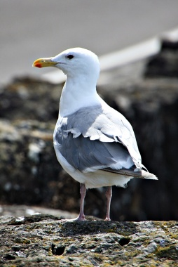 Roadside Gull