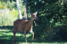 Rockaway Beach Deer