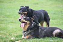 Tennis Ball Dogs