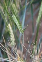 Two-Row Barley