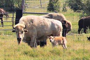 July 25, 2013 - White Buffalo