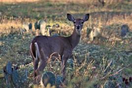 Willow City Loop Deer