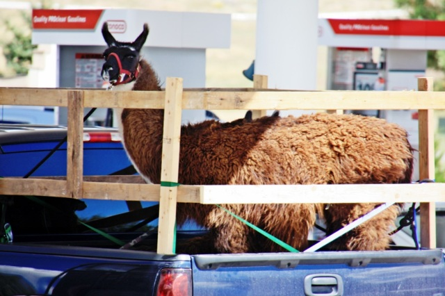 September 6, 2014 - Llama in a Truck