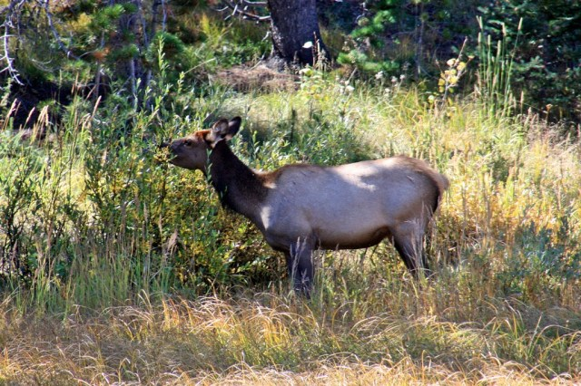 RMNP_Elk